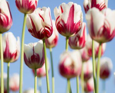 Βολβοί Λουλουδιών