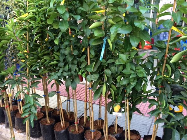 Εσπεριδοειδή και Ελαιόδενδρα